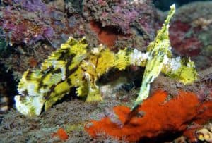 Leaf Scorpion Fish Bali Amed
