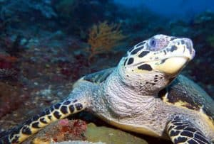 Green Sea Turtle in Tulamben Bali